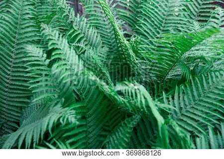Fern Leaves. Solid Background Of Green Fern. Texture Of Tropical Plants. Nature Concept. Fern Leaf I