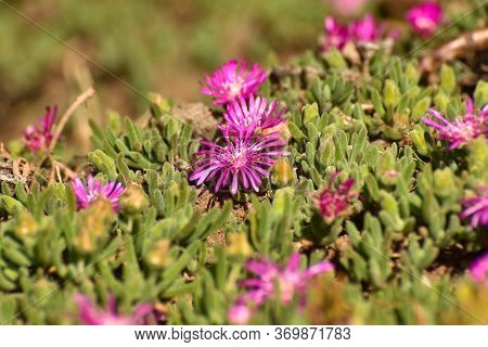 Bright Pink Trailing Ice Plant Flowers (delosperma Cooperi), Mossel Bay, South Africa
