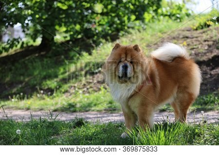 Thoroughbred Dog In The Park,an Exceptional Purebred Dog, Chow-chow