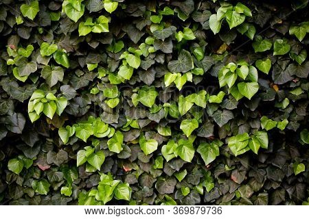 Green Floral Background Or Texture. Green Ivy Plant Hedge. Alternating Light Green And Dark Green Iv