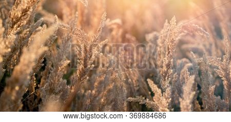 Beautiful Nature, Dry Seeds Of High Grass In Late Afternoon, Seeds Of High Grass Lit By Sunlight, Be