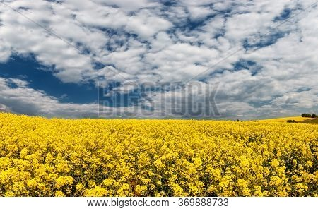 Fields With Rapeseed On A Sunny Day. Rapeseed Cultivation.
