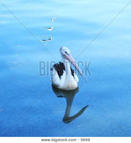 Reflected Pelican