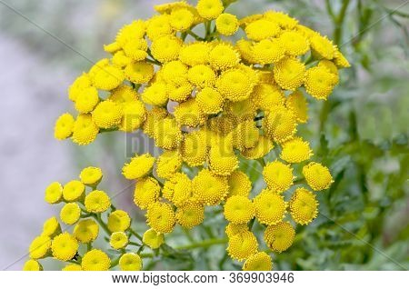 Blooming Plant Of Tansy. Common Tansy Yellow Flowers, Common Tansy, Tanacetum Vulgare, Bitter Button