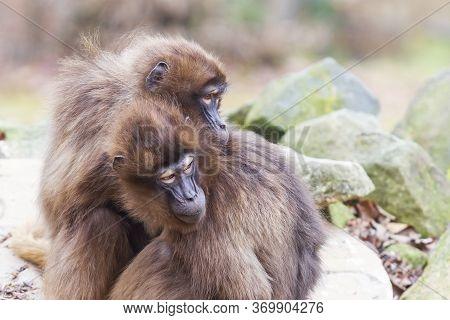 Two Macaca Monkeys