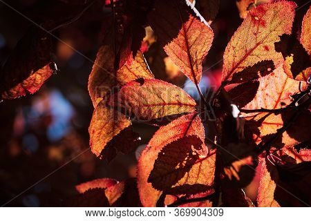 False Plum Tree With Garnet Hue With Orange, Garnet And Reddish Leaves Making Natural Complementary