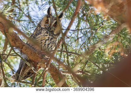 Owl Asio Otus - Long-eared Owl Resting By Day In The Branches Of An Evergreen Tree.