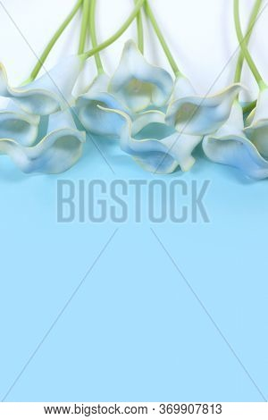 Blue calla lilies on a white background. Beautiful blue flowers