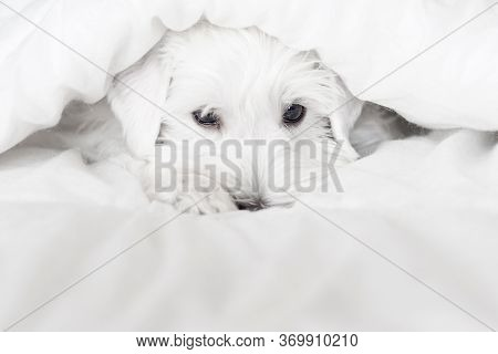 White A Handsome Puppy Looks Out From Under White Blankets. Muzzle Cute Sleeping Puppy Looks Out Fro