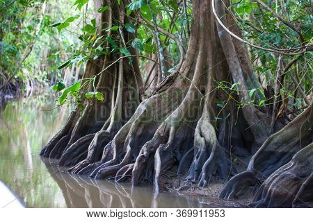 Roots Of Bizarre Fairy Trees In One Jungle Bed On A Sunny Clear Day, Guyana. The Nature Of The Subtr