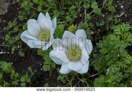 Wood Anemone, Anemone Nemorosa, Windflower, Blooming  White Garden Flower With Yellow Stamens, Sofia