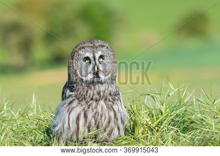 The Tawny Owl Or Brown Owl (strix Aluco) Is A Stocky, Medium-sized Owl Commonly Found In Woodlands.
