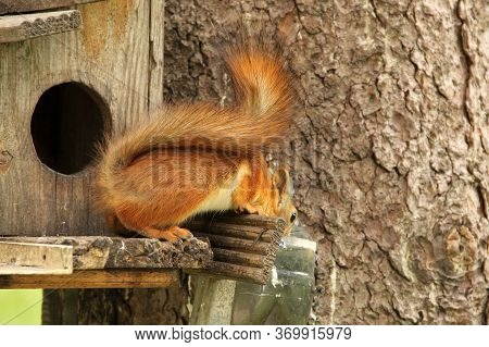 Squirrel Drinks Water. Sciurus. Rodent. Squirrel On The Birdhouse. Beautiful Red Squirrel On A Tree