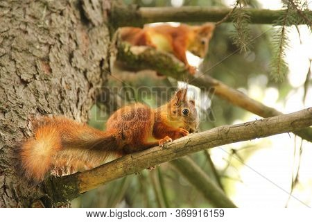 Two Squirrels. Sciurus. Rodent. The Squirrel Sits On A Tree And Eats. Beautiful Red Squirrel In The