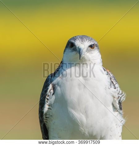 The Variable Hawk (geranoaetus Polyosoma) Is Well-named, Exhibiting Perhaps The Greatest Variety Of