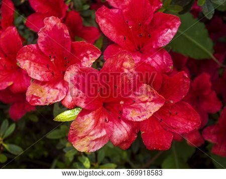 Image Of Beautiful Red Azalea Flowers In Full Bloom.