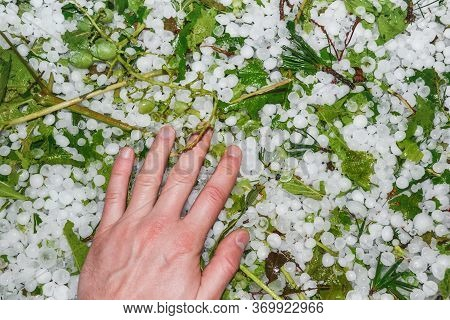 Hail Hit Vineyards: Damaged Grapes And Foliage Among Hailstones On The Ground. Hailstorm At A Wine P