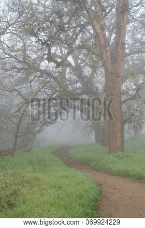 A Foggy Path In The Woods In The Winter, Displaying Leafless Oak Trees And Green Grass, And Unclear