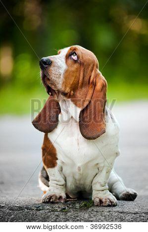 Basset hound looks up