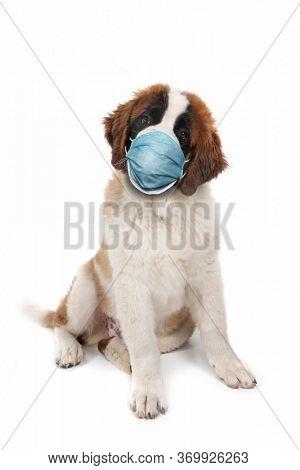 Curious Saint Bernard Puppy Sitting Wearing PPE Mask
