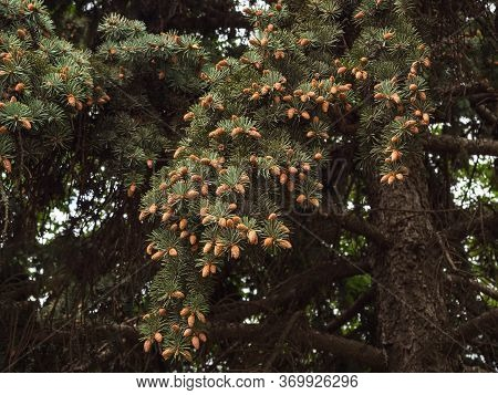 Pine Branch With Numerous Young Cones. Old Tree.