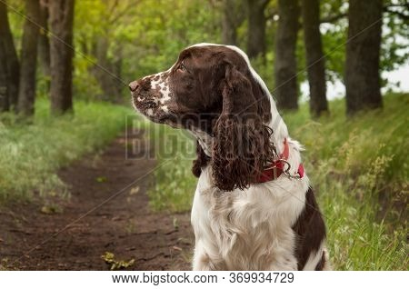 A Beautiful Dog Of The Breed English Springer Spaniel Sits On The Green Grass On A Hot Summer Day Wh