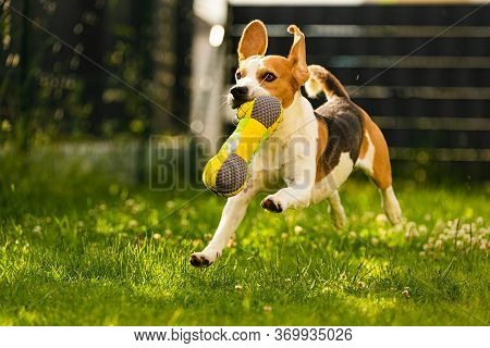 Tricolor Beagle Dog Fetching A Riped Toy And Running Towards Camera Fast. Happy Hound In Backyard Ha