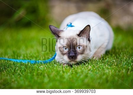 Close-up Of An Adult Mekong Bobtail Cat Posing On Green Grass Outside. A Cat Walks On A Green Lawn W
