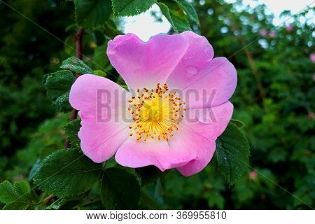 Blooming Pink Rosehip With Green Leaves Close-up. Spring And Summer Background, Dew Drops On The Pet