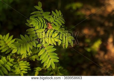 Branch Of Rowanberry Or Ashberry Tree With A Background Of Green Tree Leaves And Brown Ground In Bok
