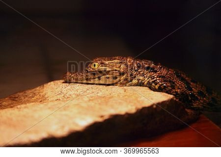 Small Baby Of The Nile Crocodile (crocodylus Niloticus) Below The Light Of The Lamp