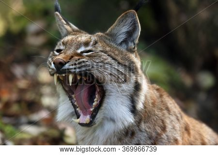 The Eurasian Lynx (lynx Lynx) Or Carpathian Lynx, Deatail Of The Head With Open Mouth During Yawning
