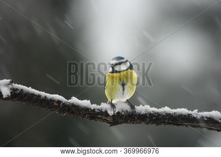The Eurasian Blue Tit (cyanistes Caeruleus) Sitting On The Branch Covered By Snow During Snowstorm W