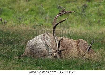 The Big Male Of Bactrian Deer (cervus Elaphus Bactrianus) Laying Like A Dead Deer In The Grass With