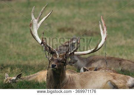 The Big Male Of Bactrian Deer (cervus Elaphus Bactrianus), Detail Of Head With Antlers With Green Ba