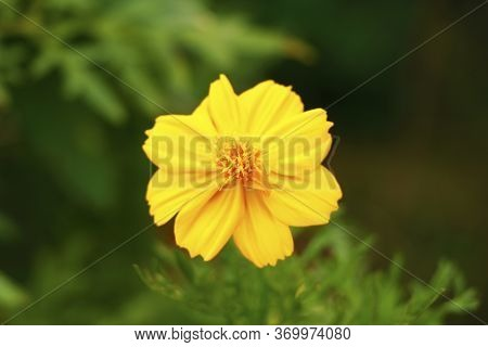 Cosmos Sulphureus Is Also Known As Sulfur Cosmos And Yellow Cosmos. It Is Native To Mexico,