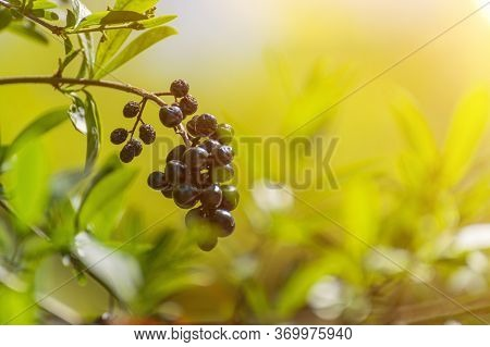 Wolf Berries, Wolfberry Privet In The Sunlight In The Early Morning.
