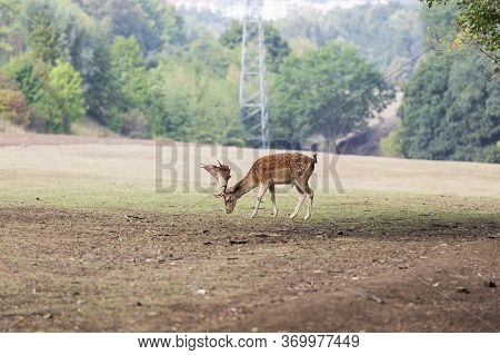 Fallow Deer - Dama Dama Grazes In A Meadow. In The Background Is A High Voltage Pole.