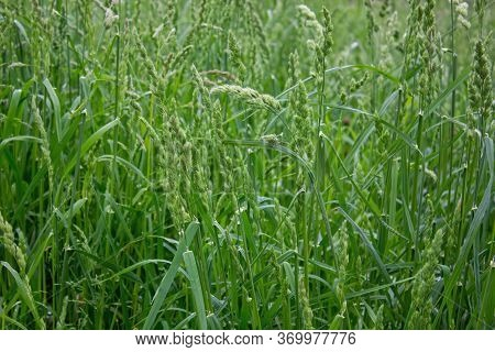 Field Green Grass With Spikelets Closeup. Time For Haymaking Ripened Green Grass In The Meadow Close