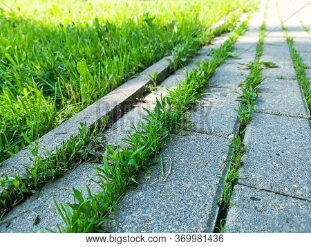 Green Young Grass Makes Its Way Through The Paving Slabs In The City. Concept: Never Give Up, Life W