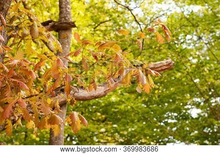 Twig Of An Oak Tree In Spring Forest With Reddish Green Fresh Leaves