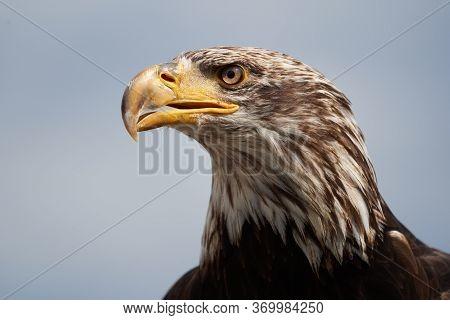 Bald Eagle Juvenile Raptor Clear Raptor Portrait