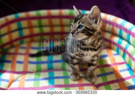 Cute Bengal Kitten Black Spotter Tabby Breed Bengal N24 In A Multi-colored Chair.pedigreed Cats .