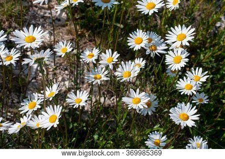 Marguerite Or Paris Daisies With White Ray Florets In Springtime