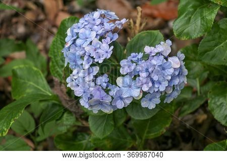 Beautiful Blue Hydrangea Close Up. Artistic Natural Background. Flower In Bloom In Spring. Closeup O