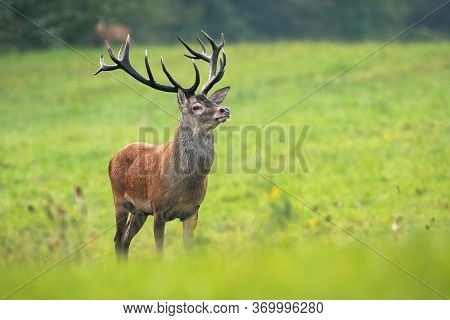Red Deer Stag Looking Around In His Territory On Meadow In Rutting Season