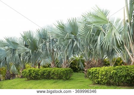 Palm Tree Line Adorned Garden On White Background.