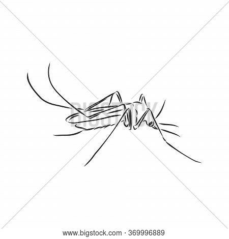 Hand Sketch Mosquito. Vector Illustration, Mosquito, Vector Sketch Illustration