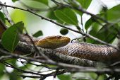 Yellow Rat Snake In Tree Corkscrew Swamp poster