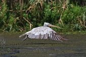 Dalmatian Pelican (Pelecanus crispus) in flight Danube Delta Romania poster